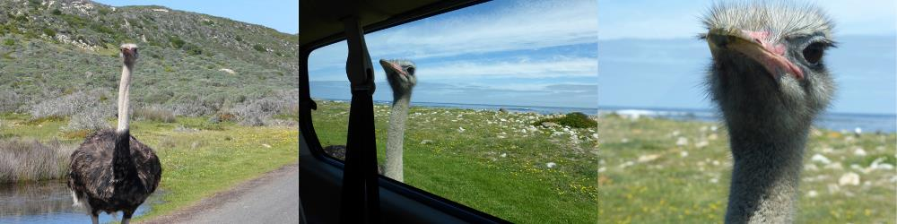 """…but, Ostriches will take you DOWN. This one literally stalked our car and pecked at us through the window. Melissa said, """"Bring it!!"""" And, also got this great shot.                0    0    1    25    144    Kikio Creative Communications    1    1    168    14.0                          Normal    0                false    false    false       EN-US    JA    X-NONE                                                                                                                                                                                                                                                                                                                                                                                                                                                                                                                             /* Style Definitions */ table.MsoNormalTable {mso-style-name:""""Table Normal""""; mso-tstyle-rowband-size:0; mso-tstyle-colband-size:0; mso-style-noshow:yes; mso-style-priority:99; mso-style-parent:""""""""; mso-padding-alt:0in 5.4pt 0in 5.4pt; mso-para-margin:0in; mso-para-margin-bottom:.0001pt; mso-pagination:widow-orphan; font-size:12.0pt; font-family:Cambria; mso-ascii-font-family:Cambria; mso-ascii-theme-font:minor-latin; mso-hansi-font-family:Cambria; mso-hansi-theme-font:minor-latin;}"""
