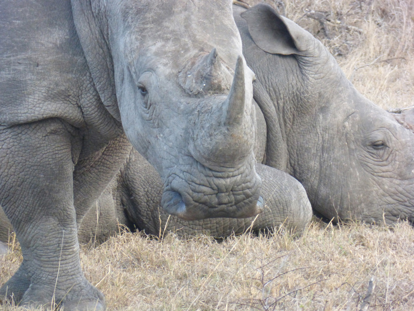 The white rhino!  Another of The Big Five.  (p.s. the Leopard is one, too)