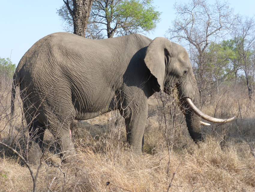 Rounding out The Big Five -- the elephant! The reason they are named The Big Five is not due to size, it is because these are animals that will hunt you back.