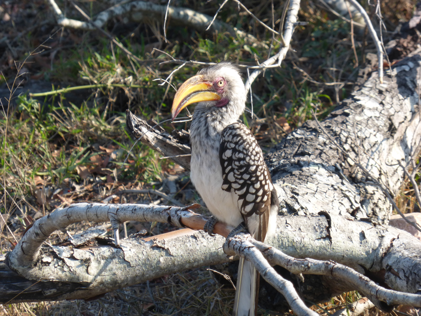 Hey kids look it's Zazu the Hornbill from the Lion King!