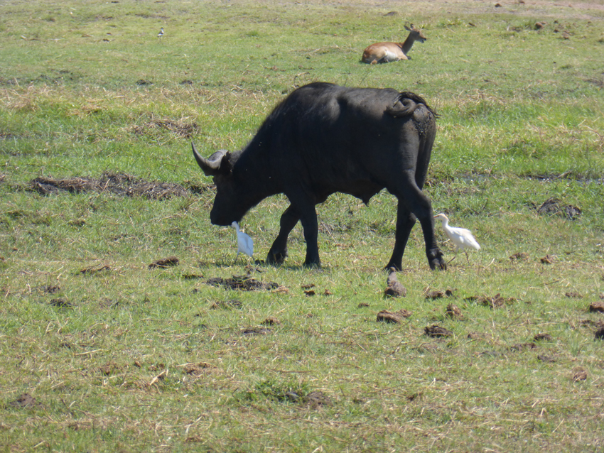 The buffalo and the egret are good pals out here in the wild. When the buffalo walks, it kicks up bugs for the egret to eat. Now, that's what friends are for!