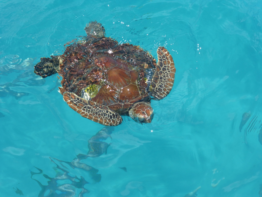 A real sea turtle in the real sea!  (The Coral Sea)
