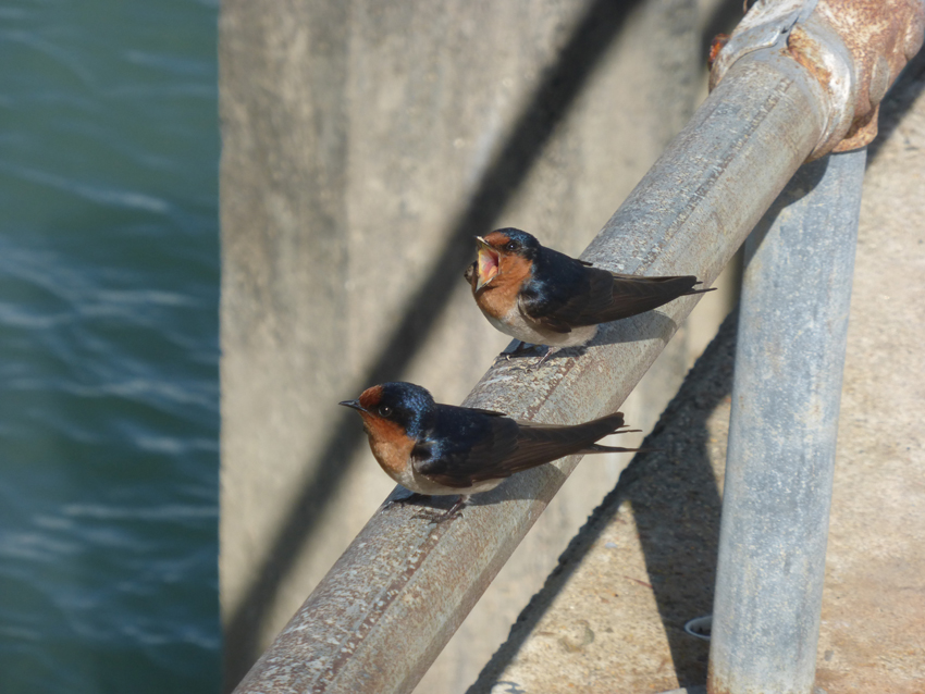 """We saw these two birds and thought they were adorable. Then we heard their very peculiar call, """"Turn Back! Turn Back!""""  We should have listened."""