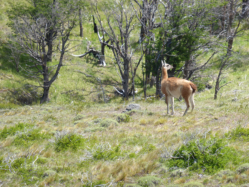A guanaco sentry on the lookout for pumas (the kind with claws not the ones from Foot Locker)