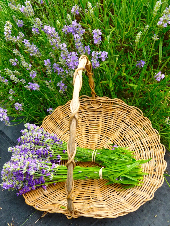 Cutting Lavender Plant Care Seven Oaks Lavender Farm