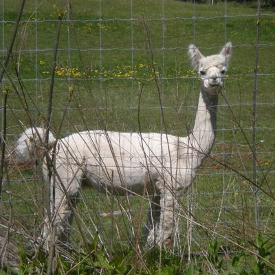 alpaca2.jpg