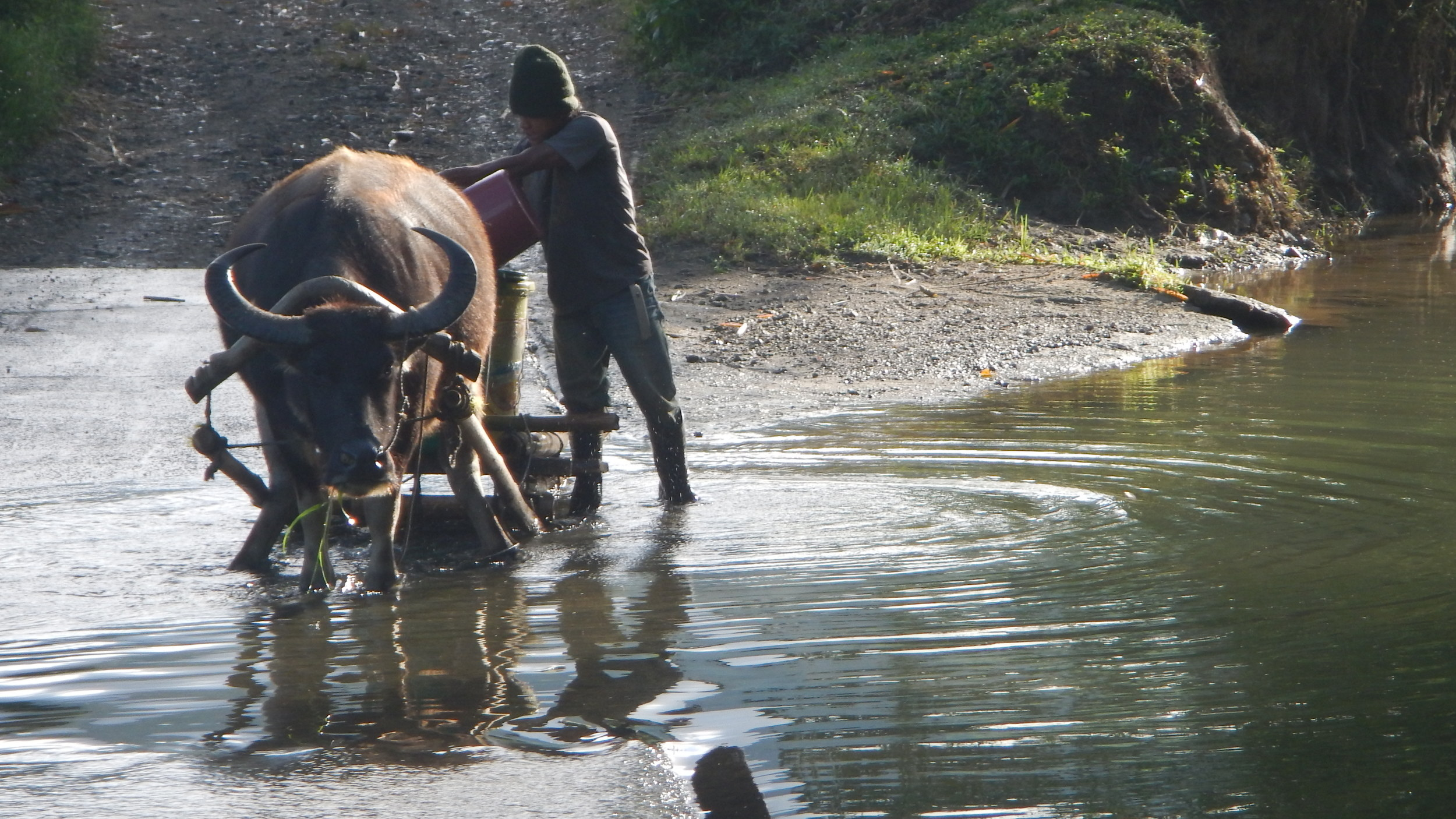 11-4-15. Hauling water for pechay newly transplanted...jpg