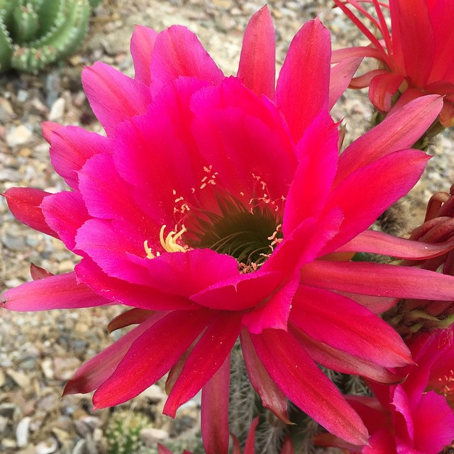 Spring in the desert is always beautiful. ##buylocal #instagramaz #whyaz  #locallyowned  #az365 #instaaz #igerstucson #tucson #pottery #metal #art #sculpture #fountain #landscaping #decore #talavera #tucson #greenvalley #orovalley #igersaz #arizona #cacti #cactus #cacti_lovers