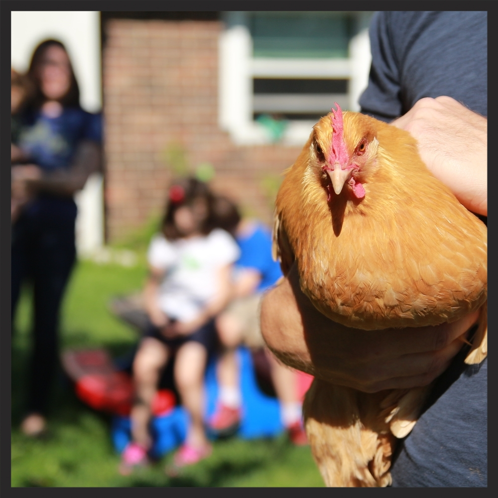 Steve McBride of Huber Heights, Ohio holds one of his family's hens aswife, Sarah McBride, and their childrenwatch in the background. Sarah and Steve violated Huber Height's zoning laws with their chicken coop.