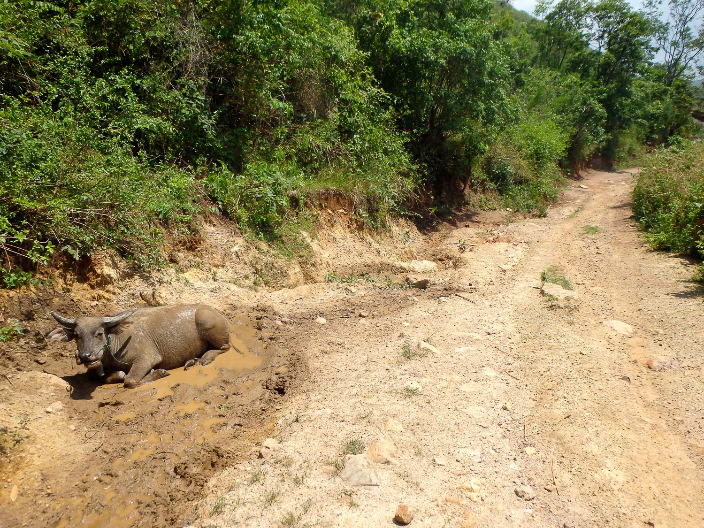 Water buffalo wallowing on the road