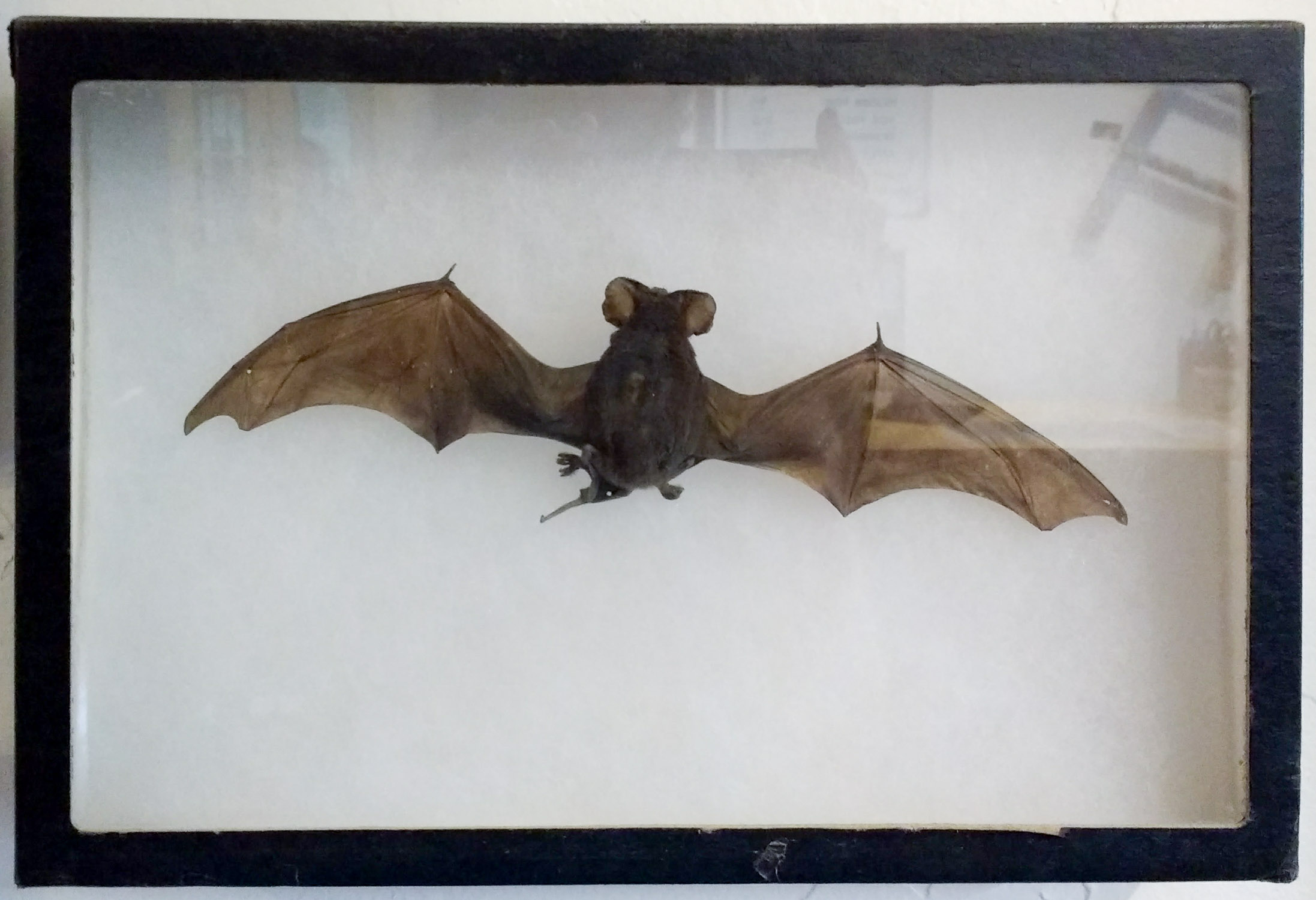A preserved Mexican free-tailed bat at the welcome center of Valley View Hot Springs
