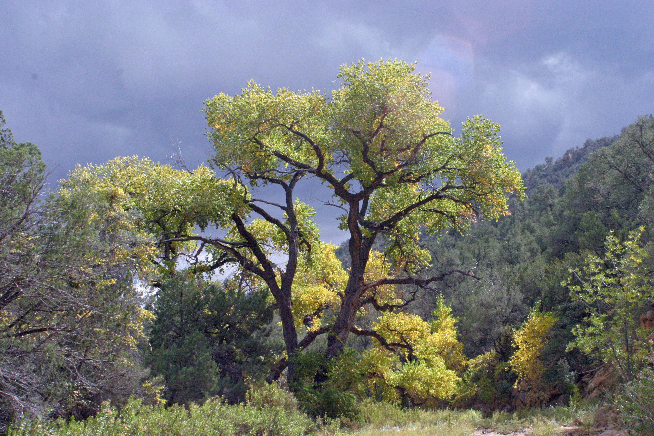 Populus fremontii subsp. fremontii, photo Russ Kleinman, Burro Mtns., CF Canyon, May 2, 2007