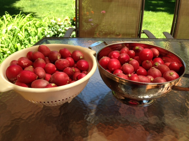 2nd harvest of 2016: radishes!