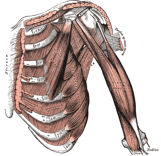 "See the serratus anterior in this image attaching to the 1st through 8th ribs. It ""disappears"" underneath the pectorals minor toward the upper chest, but comes into clearer view especially attaching to ribs 6, 7, and 8."