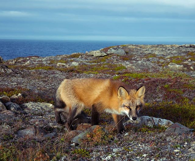 The foxes are out on The Rock.  Foraging for berries, staring down my mother and tolerating a closeup. Last photo by @roseradio the 3rd fox observer. . . . . . . #wildlife #newfoundland #photographer #fox #forage #wild #neverstopexploring
