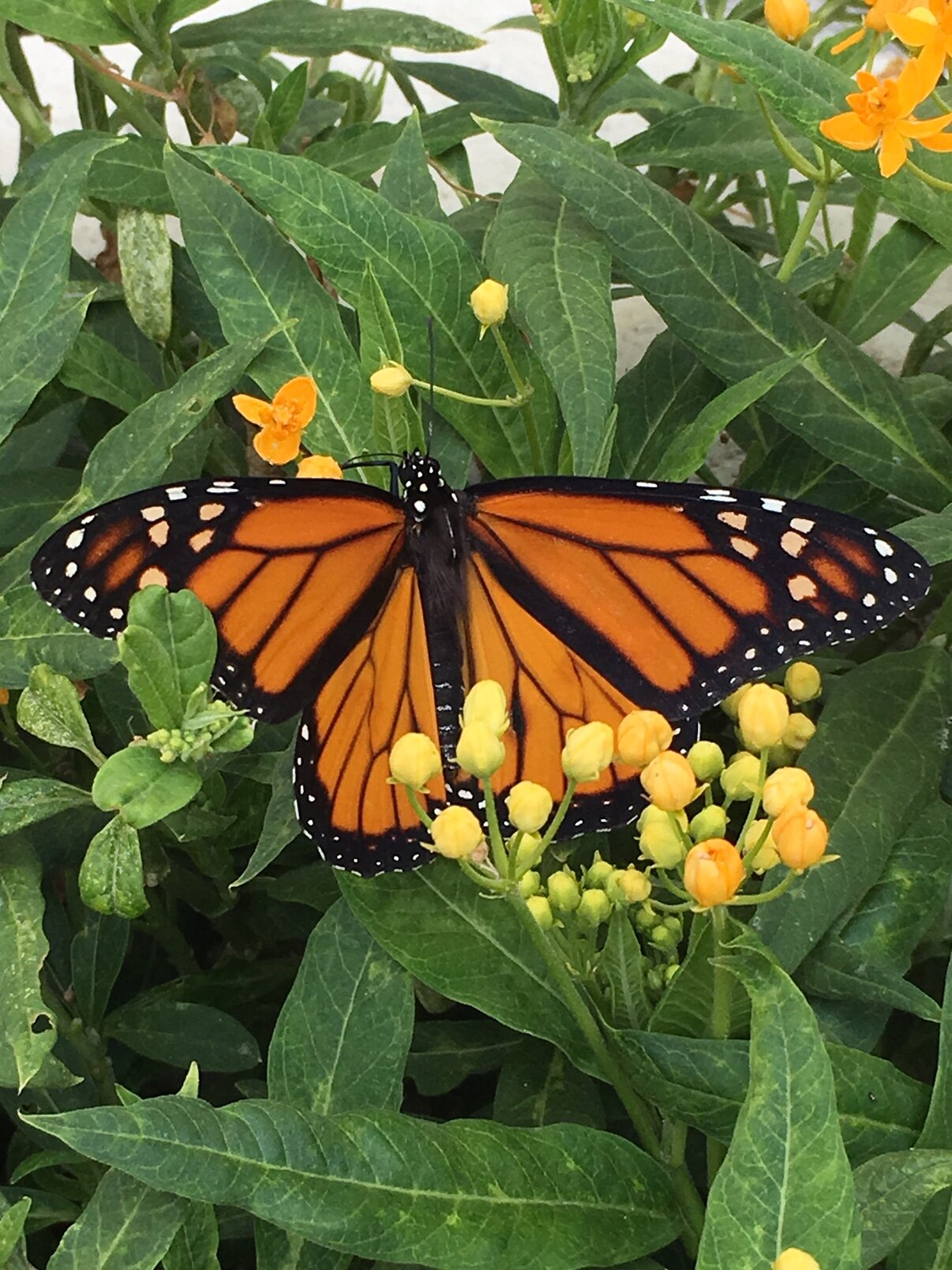 Butterfly monarch SM yard2018.jpg