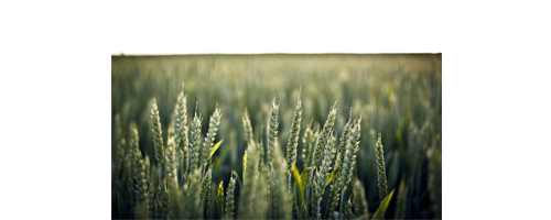 Green Wheat.png