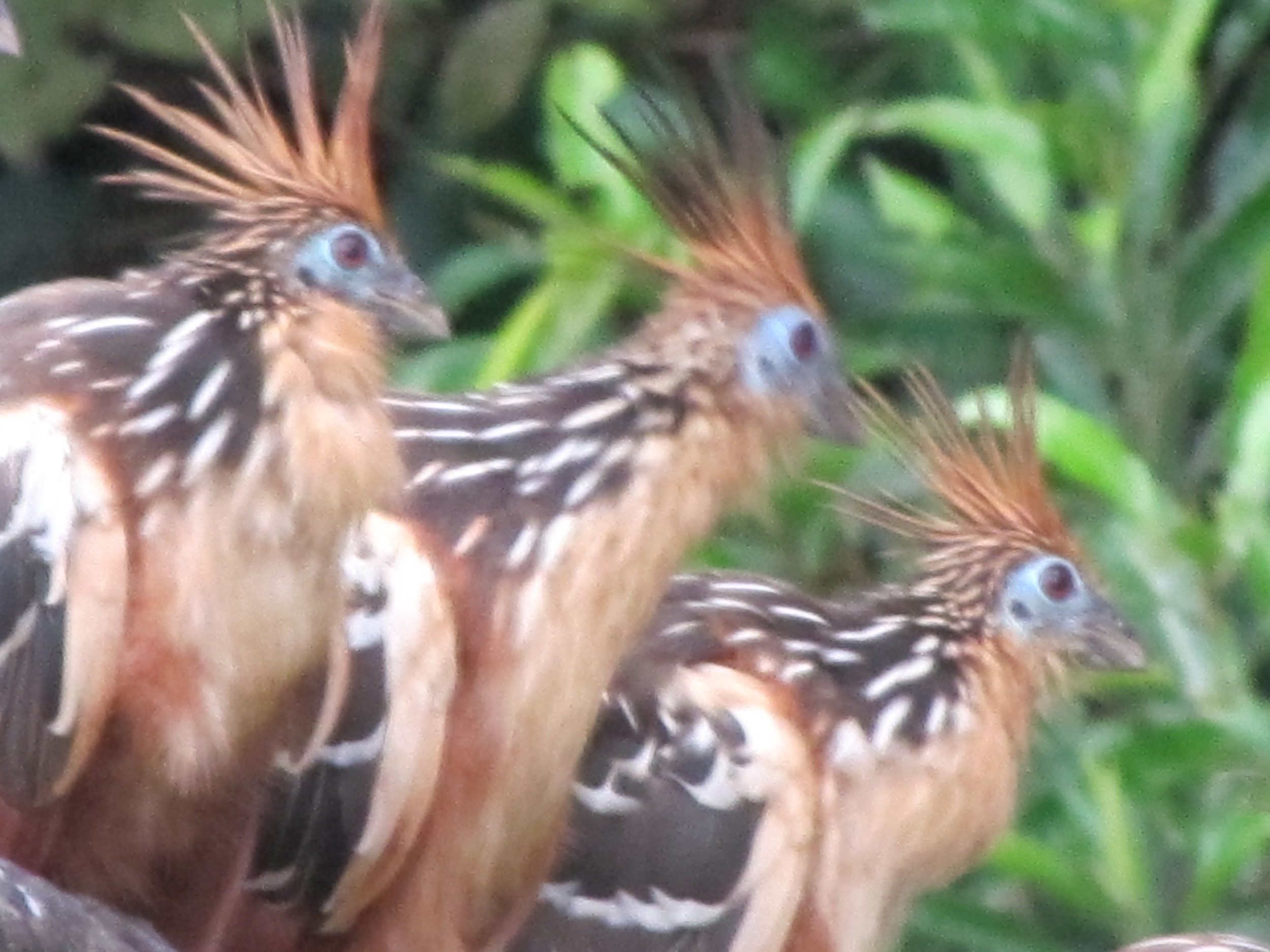Hoatzin at the Pond, TRC