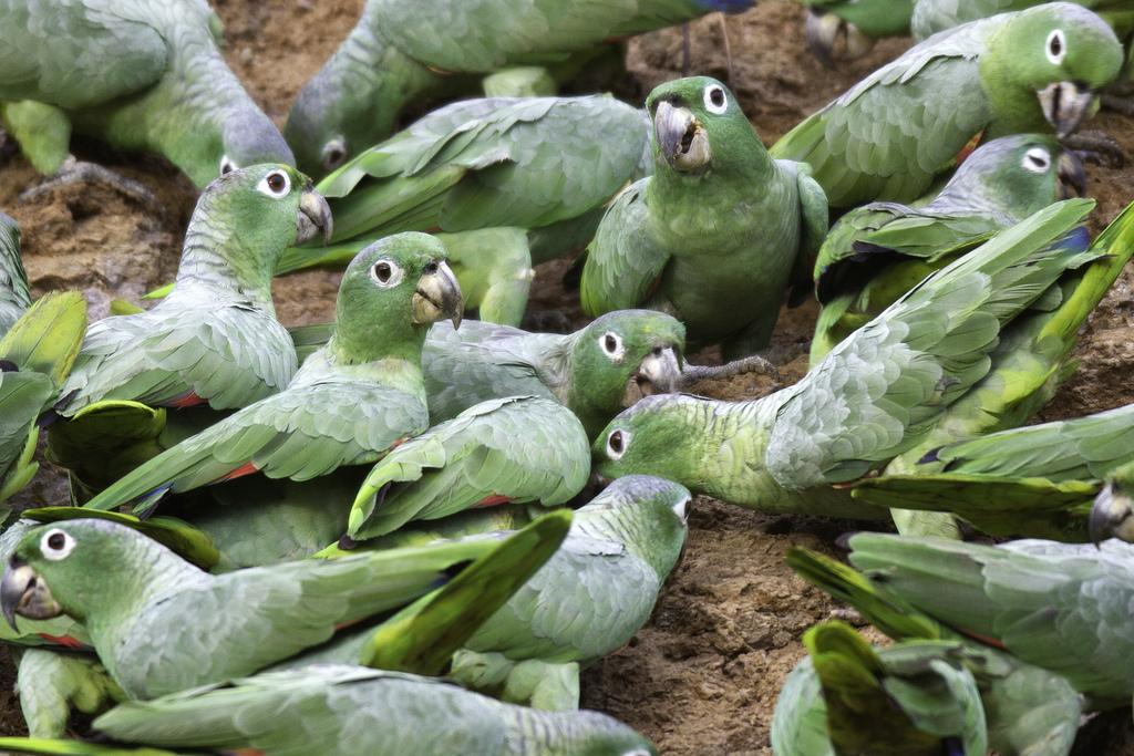Parrots at Claylick