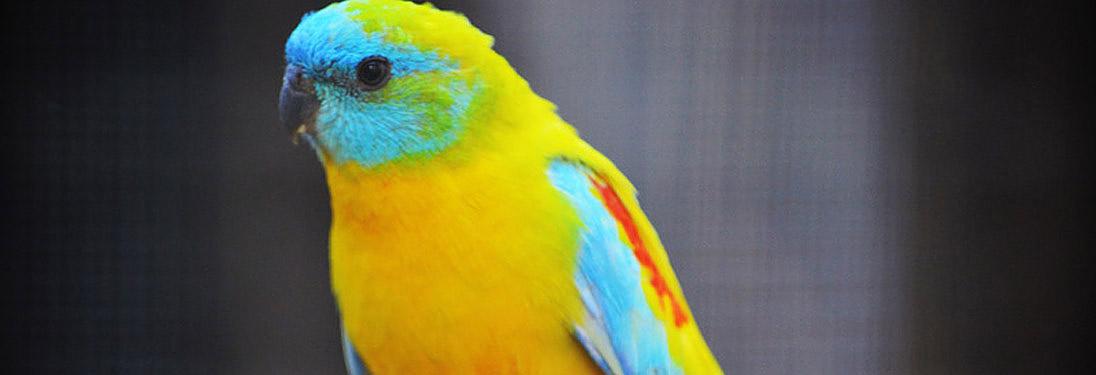 Turquoisine Parakeet — Pandemonium Aviaries