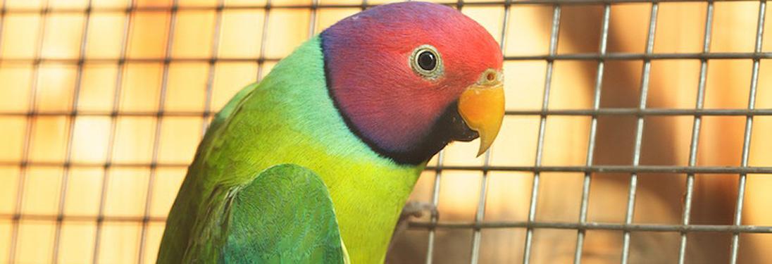 Plumhead Parakeet — Pandemonium Aviaries