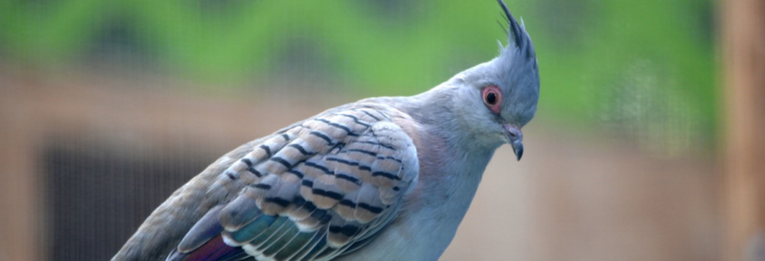 australian_crested_dove.jpg