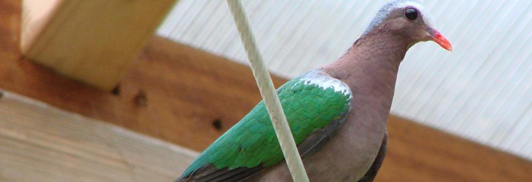 greenwing_dove.jpg