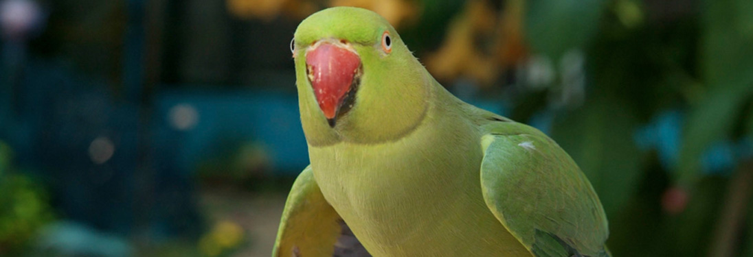 Indian Ringneck Parakeet — Pandemonium Aviaries