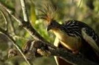 Adult Hoatzin with chick. Image credit:  http://jerseyboyshuntdi no aurs.blogspot.com