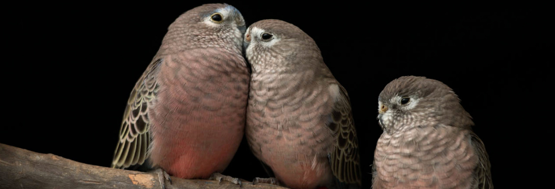cape_dove_pair.JPG
