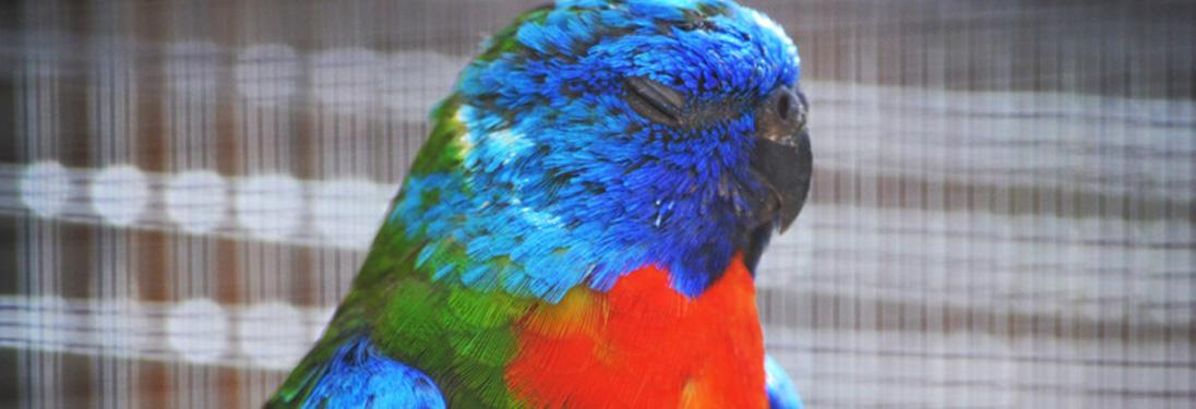 Parrots Gallery — Pandemonium Aviaries