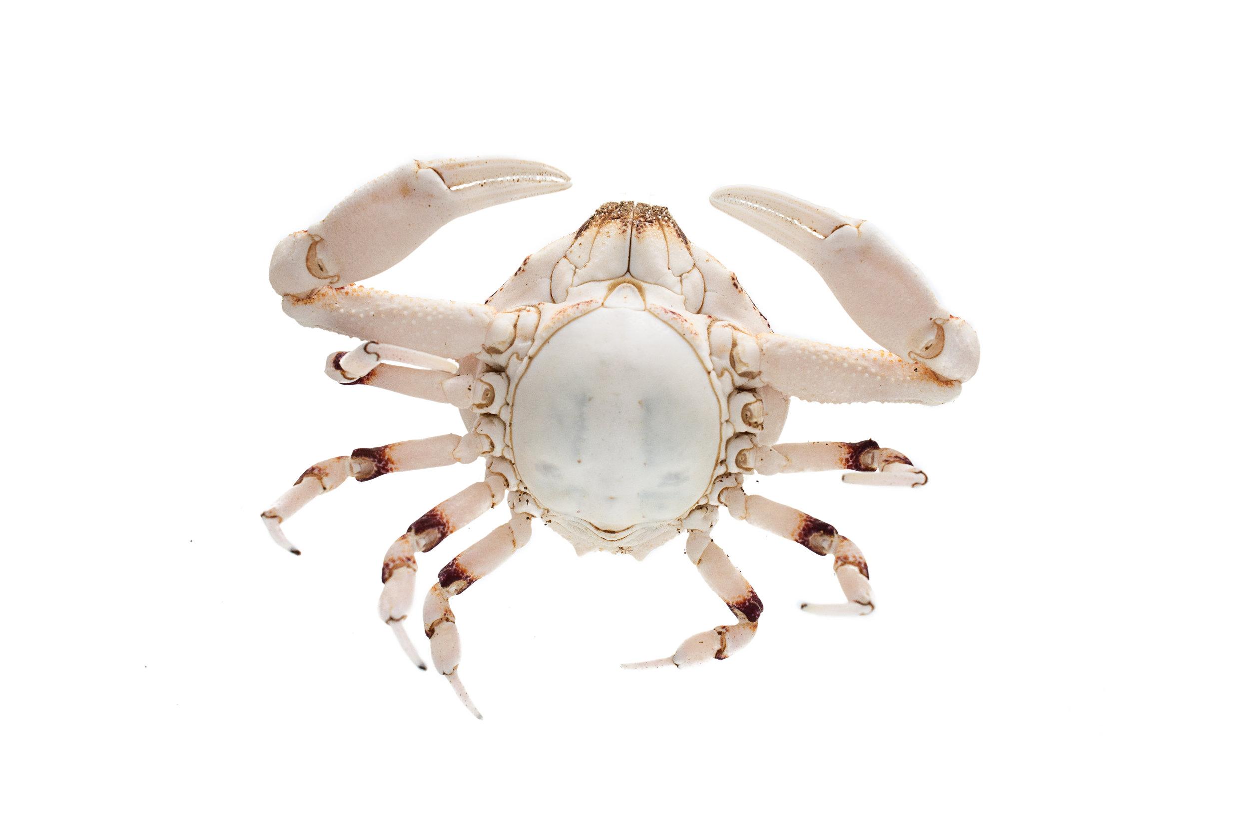 globe-crab.jpg