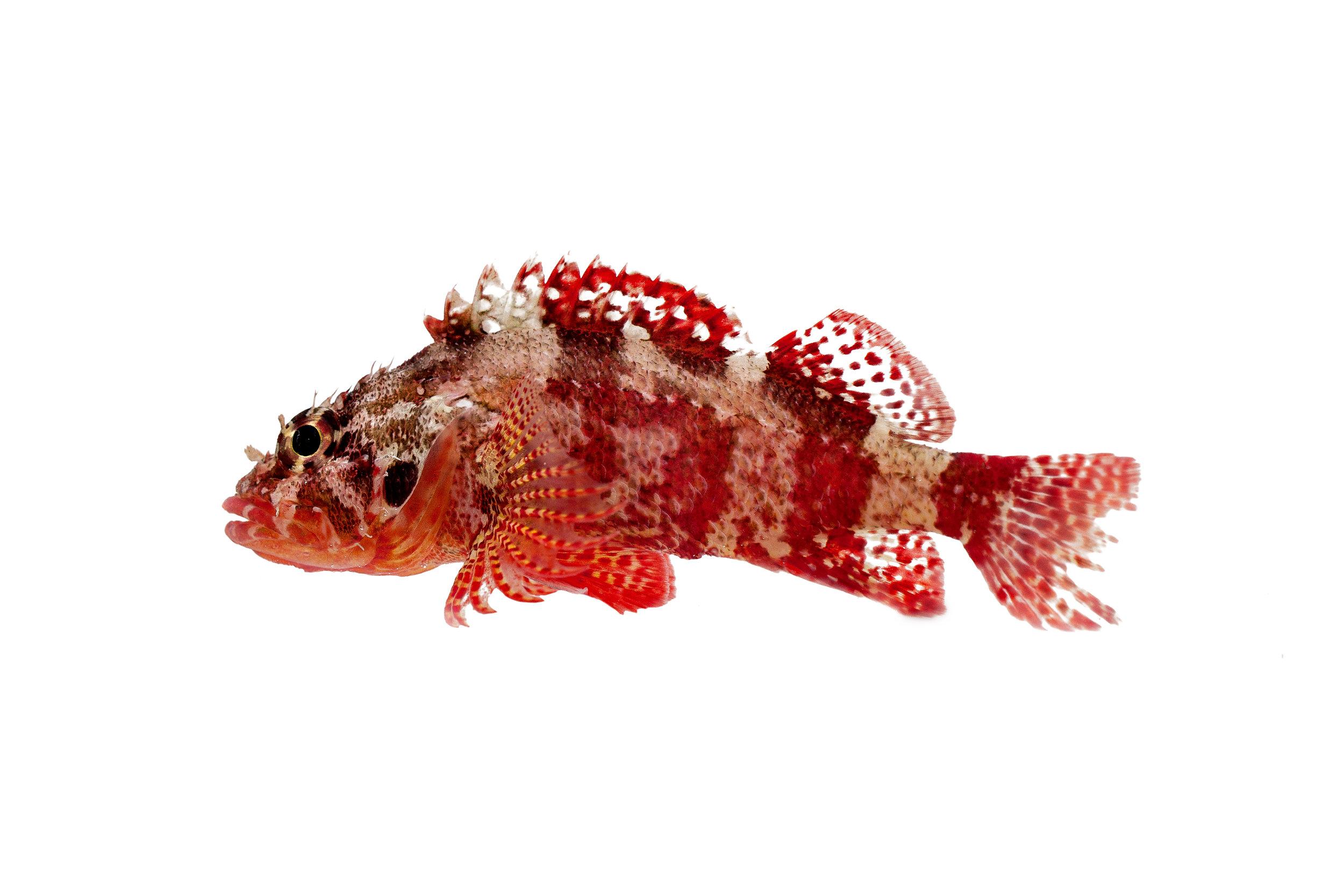 rainbow-scorpionfish.jpg