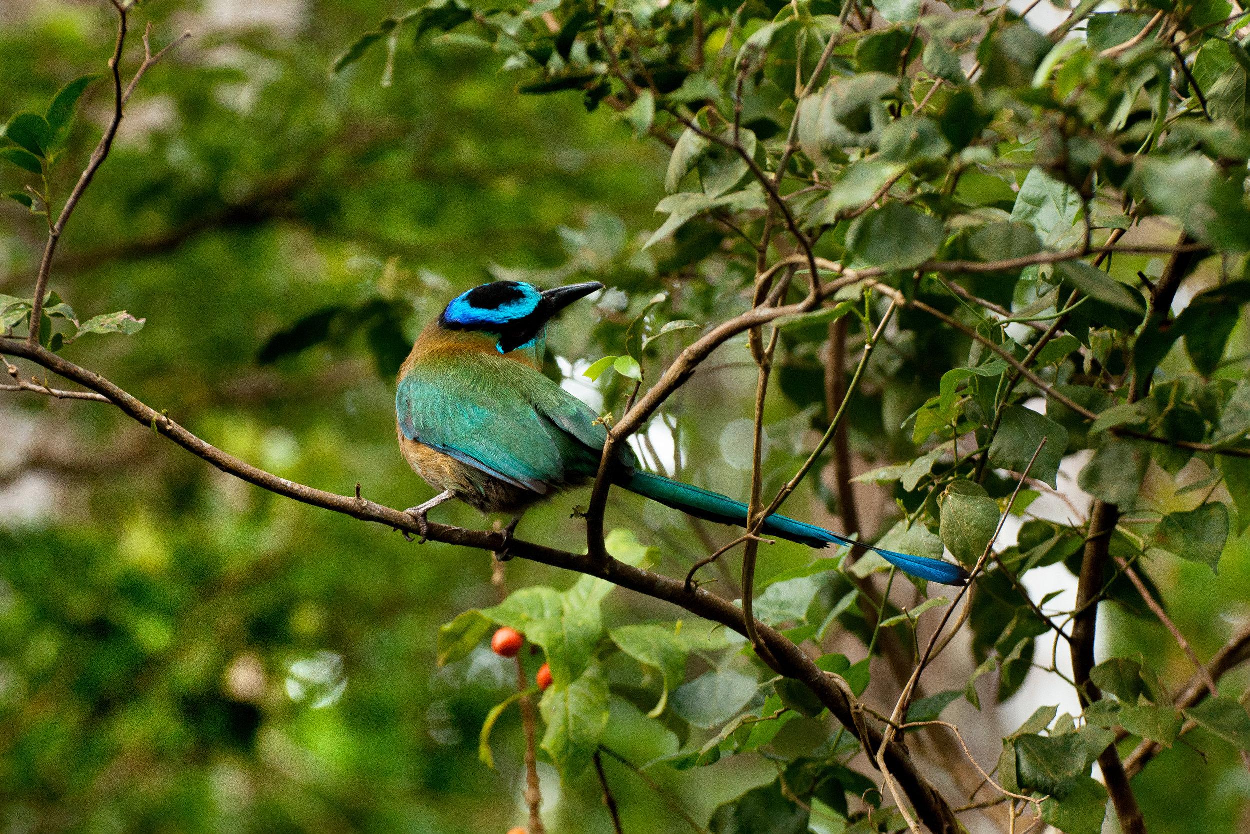 Blue-crowned-Motmot.jpg
