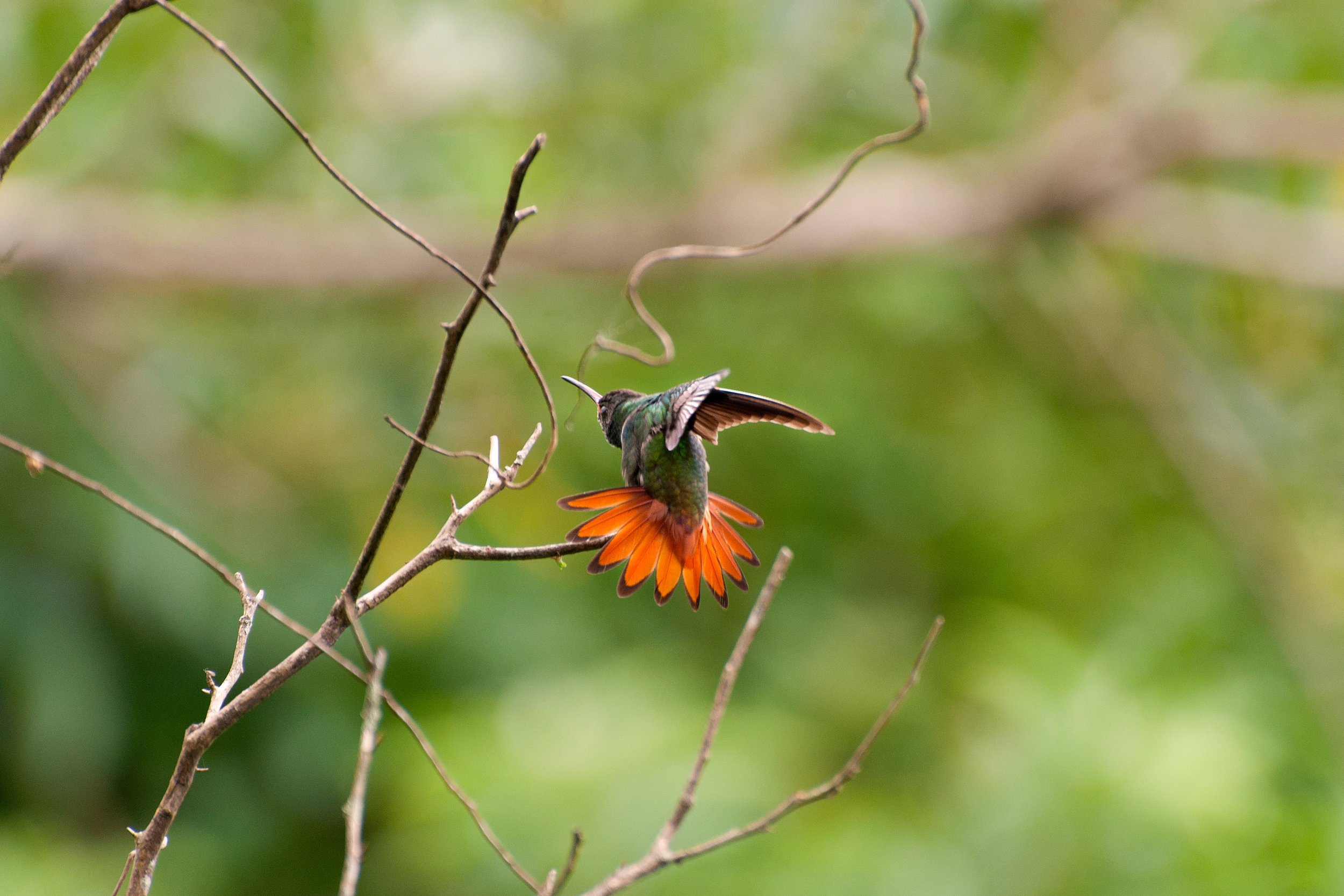 Rufous-tailed-Hummingbird.jpg