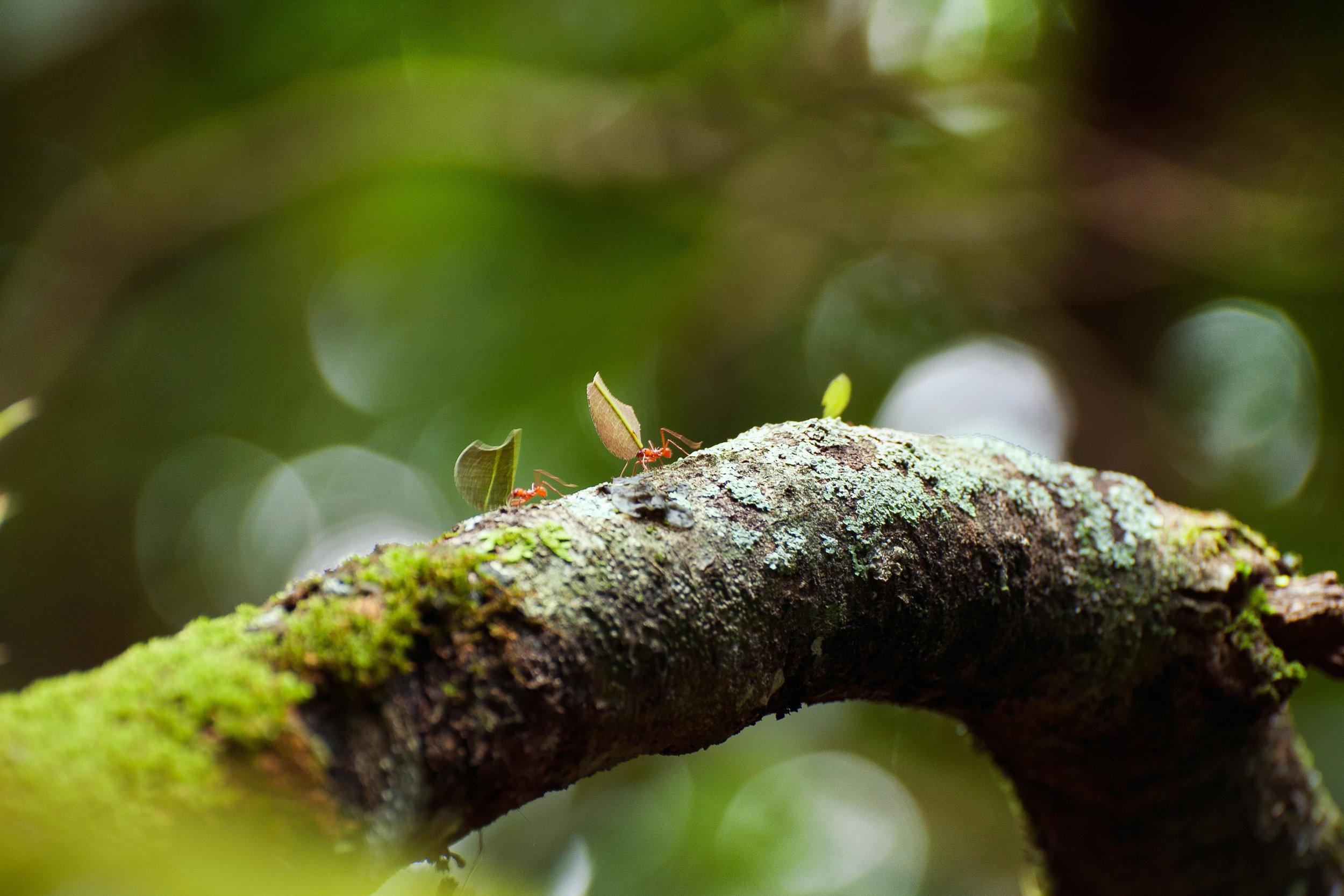 Leafcutter-Ants.jpg