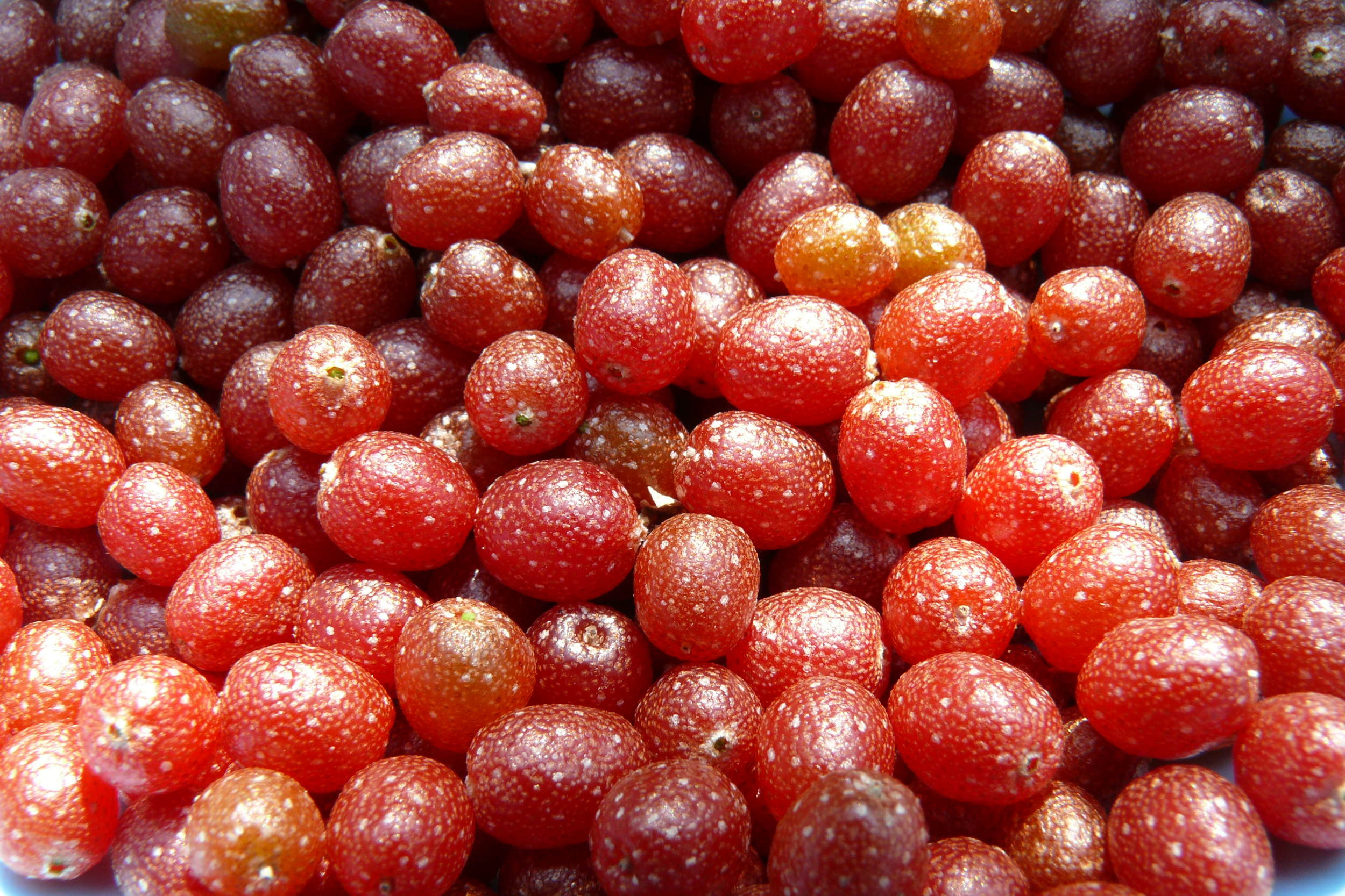 Berries are easily identified by the silvery-speckles that grace their skin