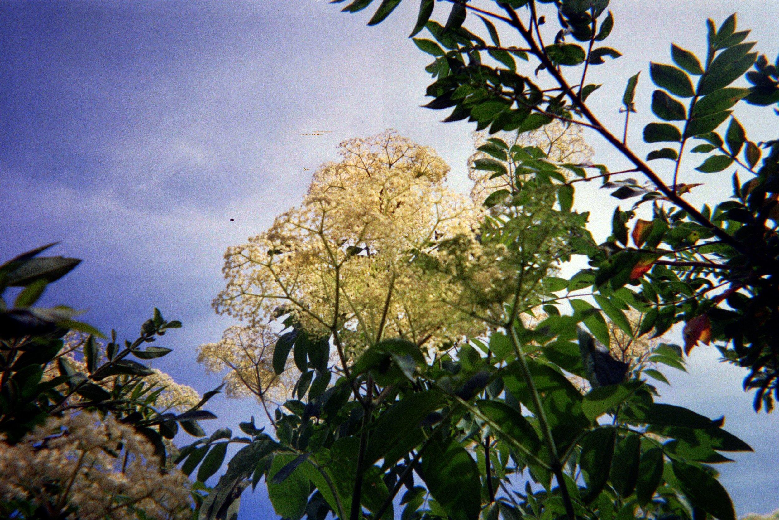 Elder blossoms soaking up the Vineyard sun last summer.