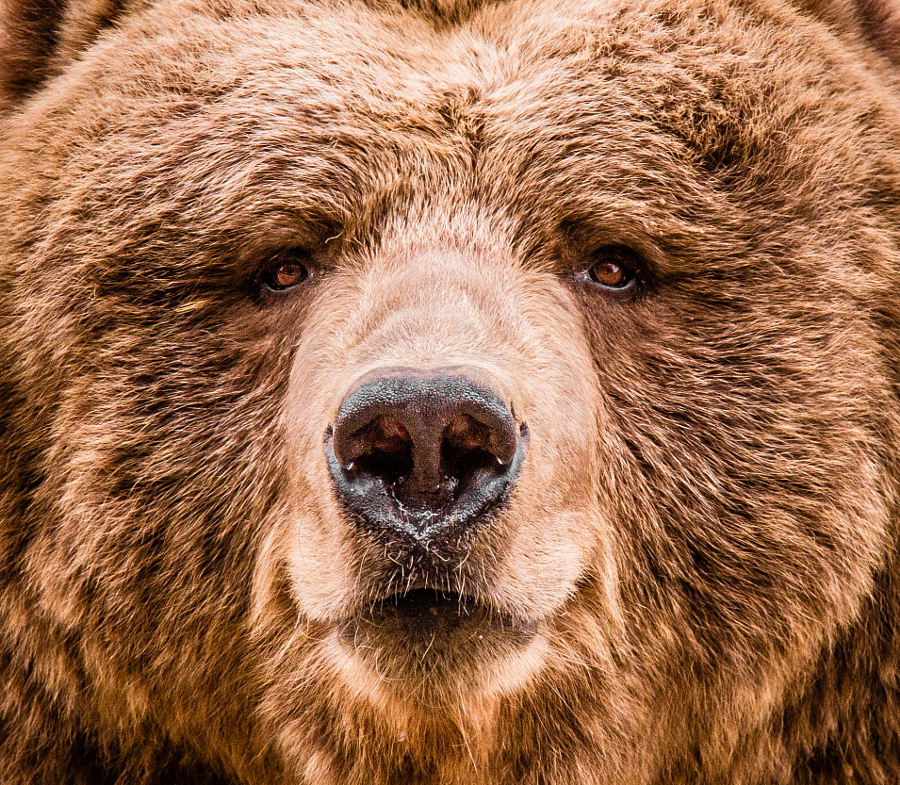 Kodiak bear face