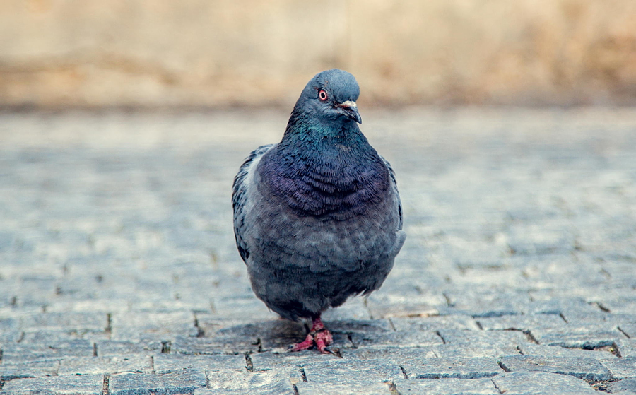 Pigeon in Prague