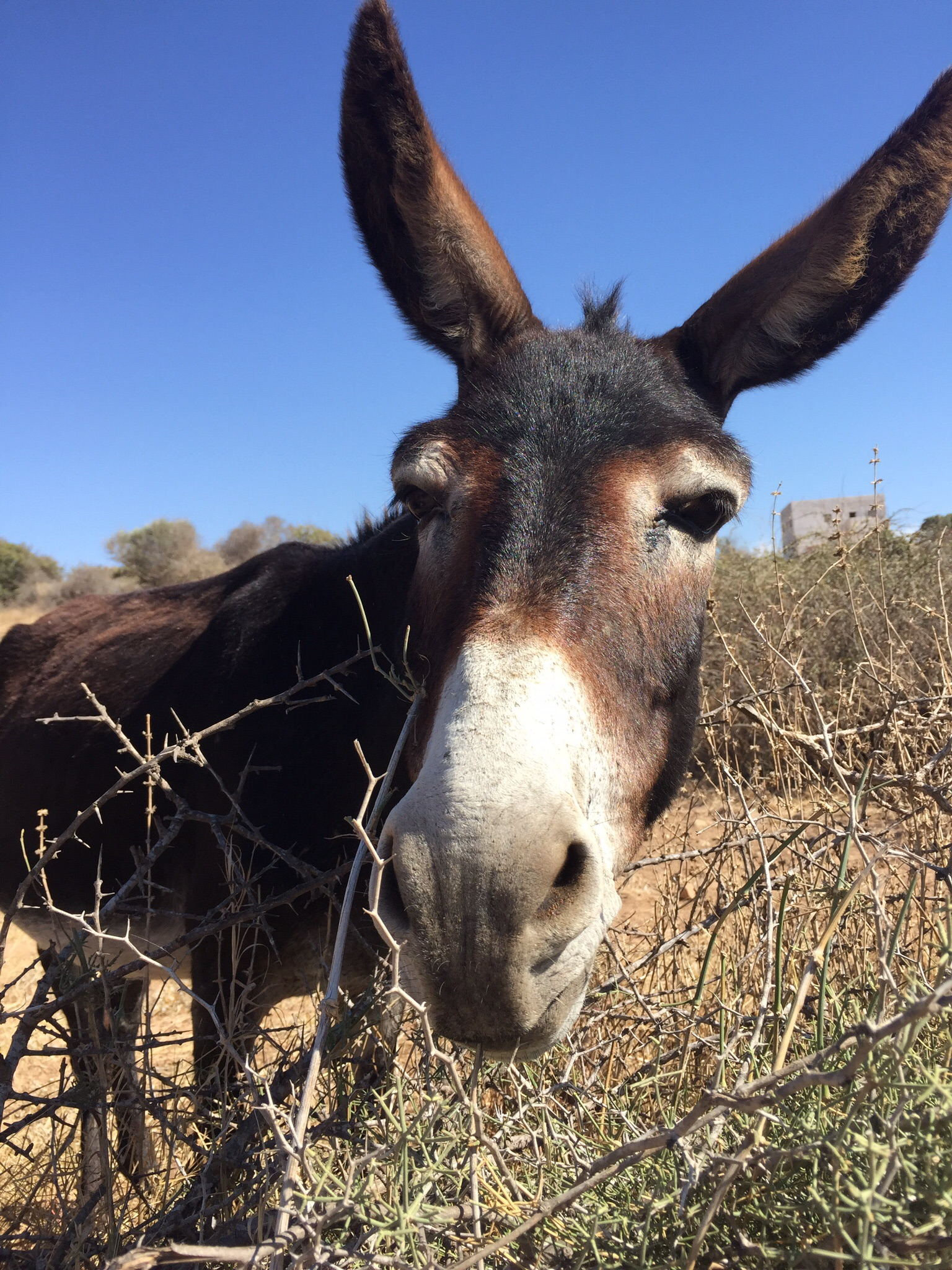 A happy rural donkey in Tafedna Village, south of Essaouira.