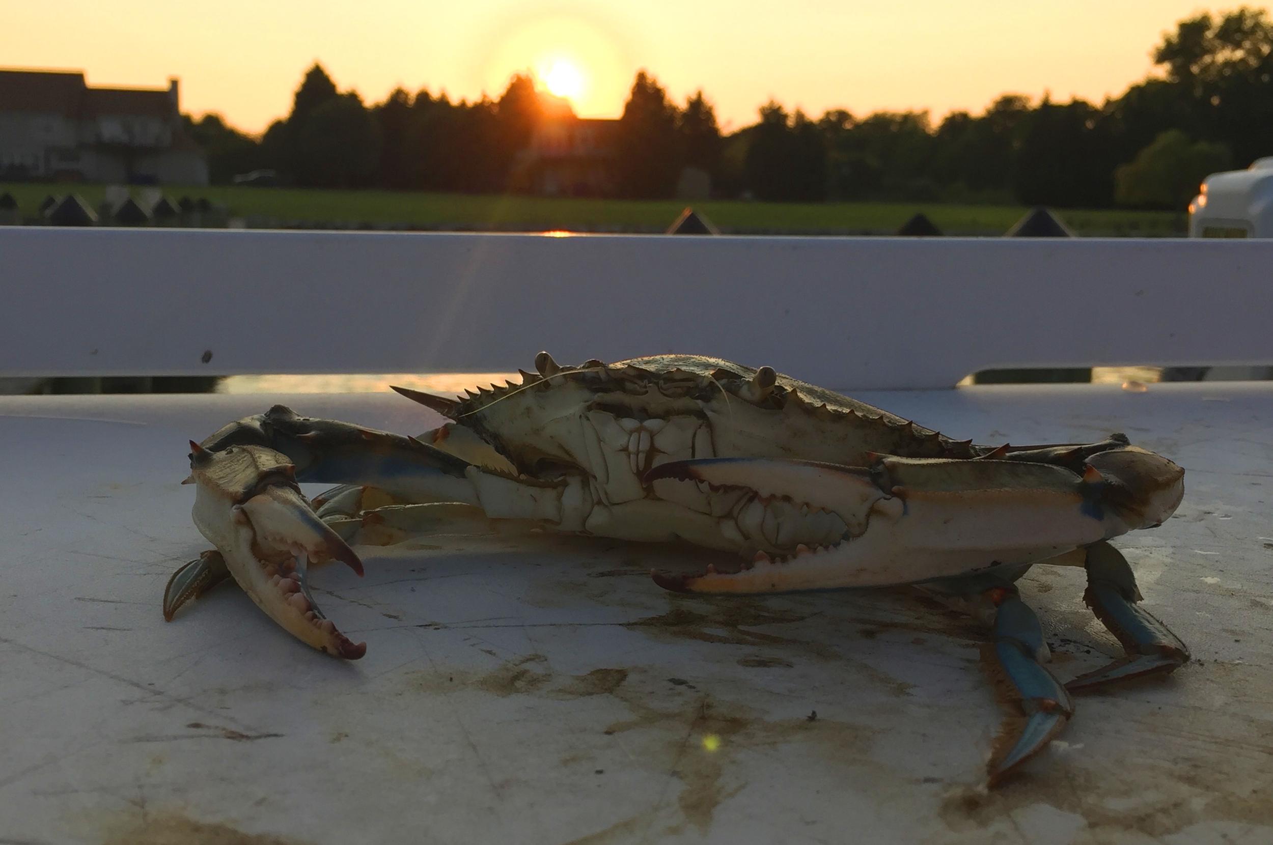 Baes_Crab.jpg