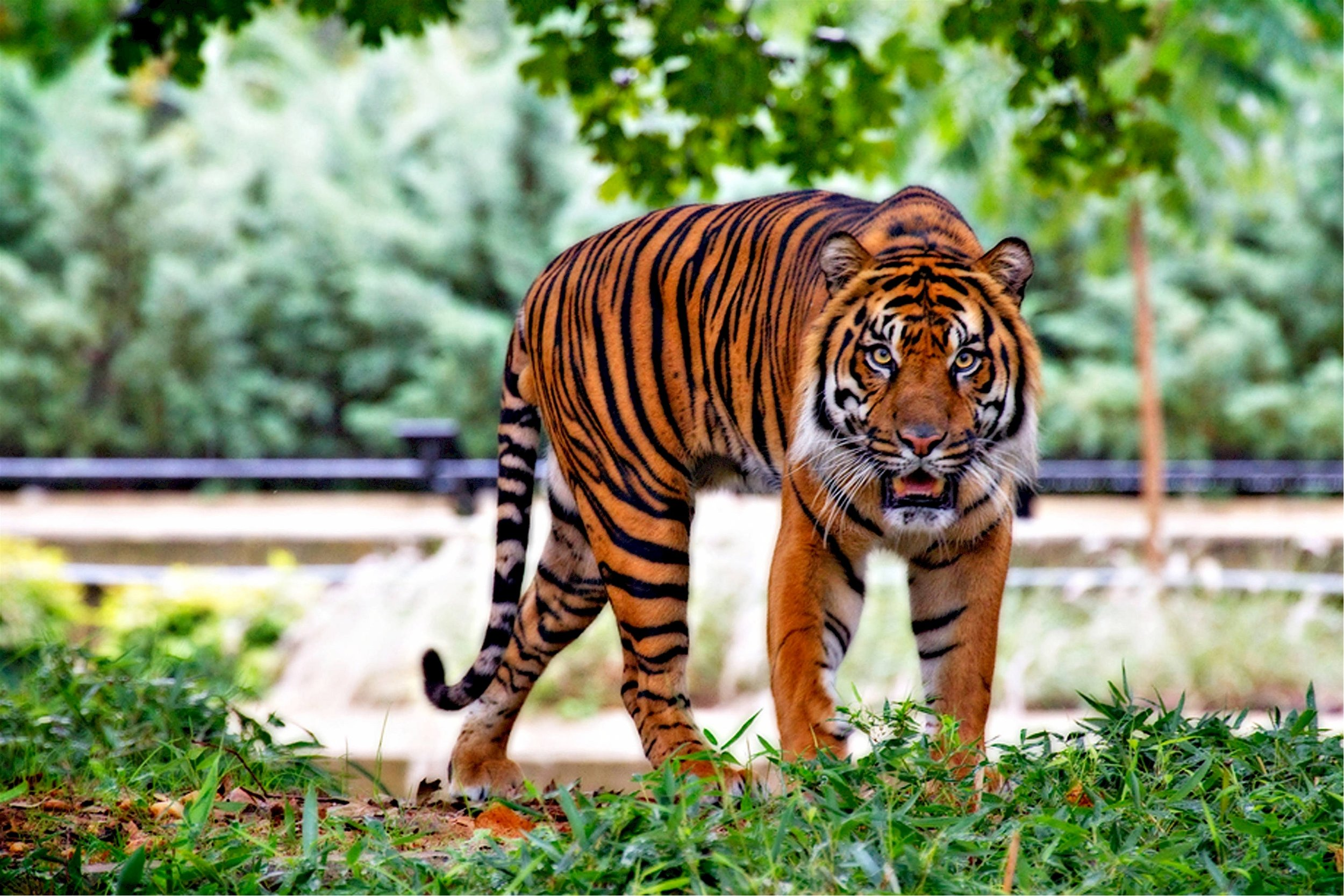 sumatran-tiger-tiger-big-cat-stripes-46251.jpeg