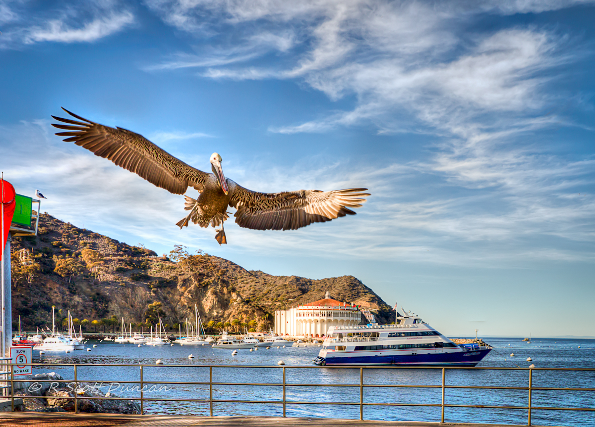 catalina-island-california-pelican.jpg