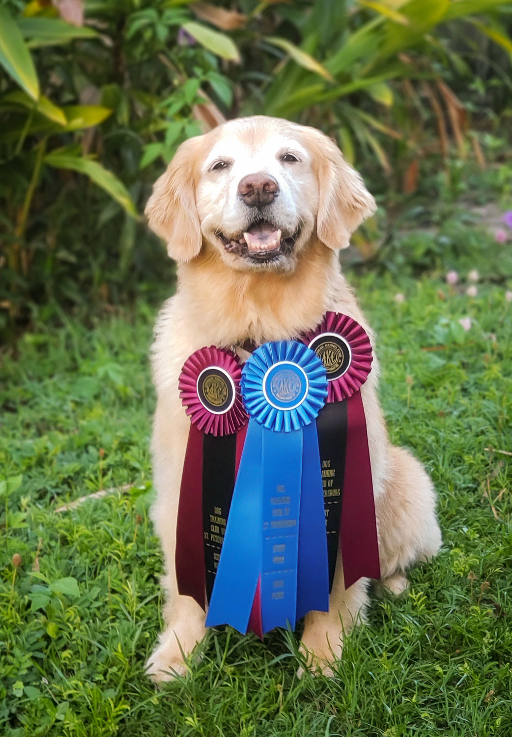 akc-scent-work-trials-st-petersburg-florida-julia-earns-her-titles-C.jpg