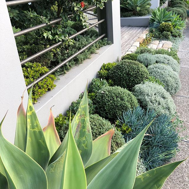 Beautiful combination of grey and greens working together to elevate the spirit of the people walking past.  For more inspirational ideas or creative use of space head on over to our website via @sitedesign_studios ) Plants: agave,westringia zena, senicio serpens, metrosideros thomisii, crasula ovata minima, rosemary, buxus balls  #landscapedesign #landscapearchitecture  #landscape #sitedesignstudios #sydneylandscaping  #beautifulgardens #outdoors #moderngarden #outdoorlivingspace #agave