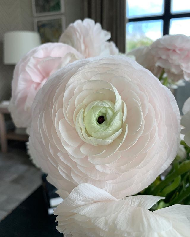 A perfect ranunculus in the softest, prettiest palette . #ranunculus #easthampton #thehamptons