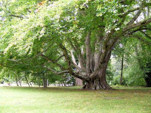 beech+tree.jpg