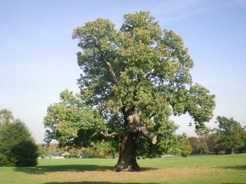 sweet+chestnut+tree.jpg