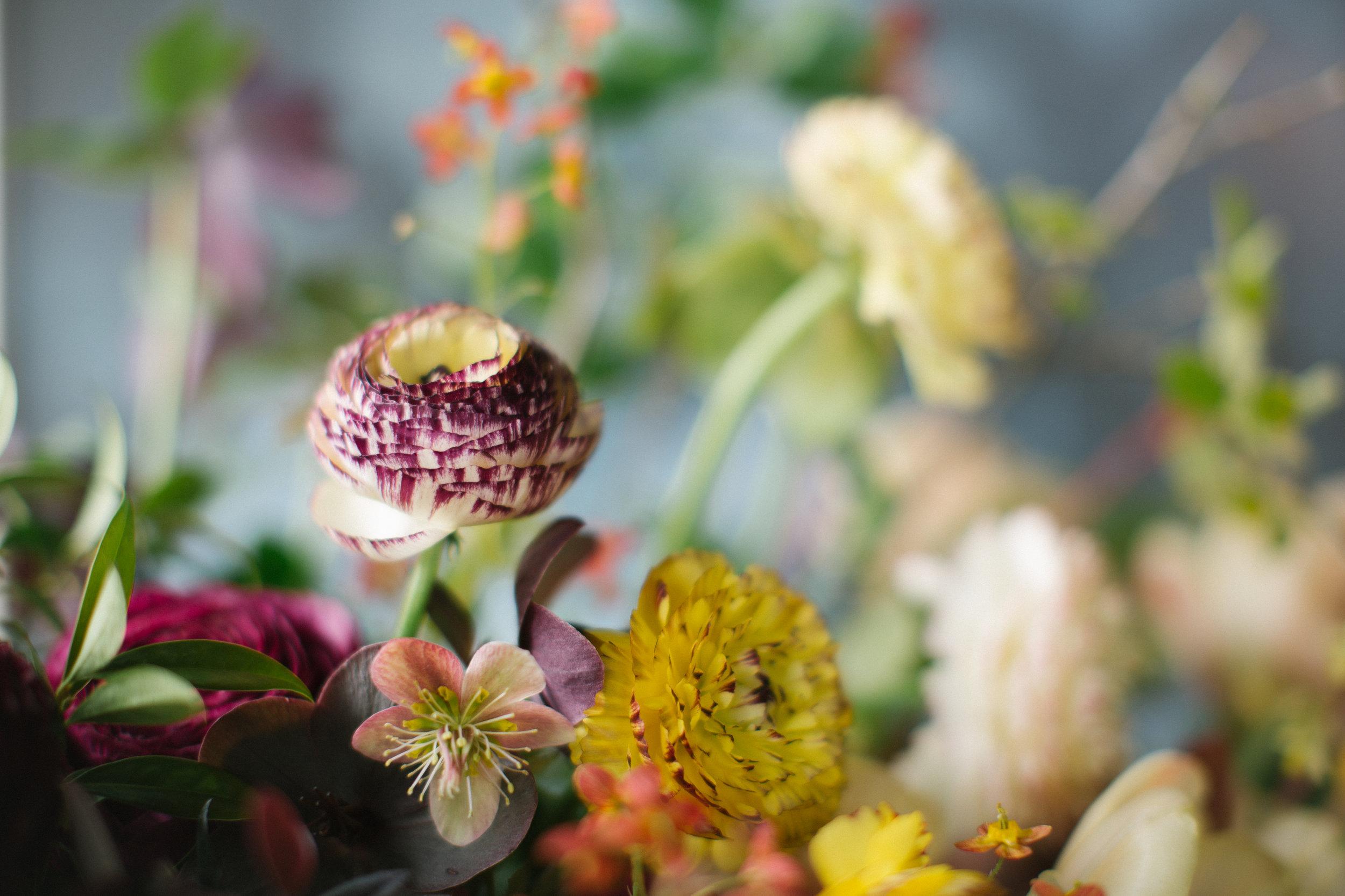Picotee Ranunculus and a teeny Hellebore blossom